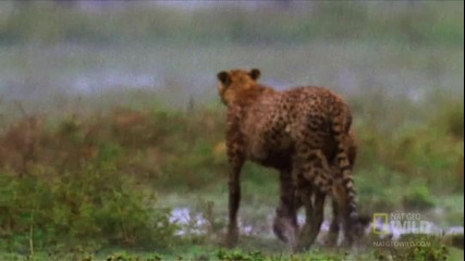 Живота на бързите яростни гепарди!