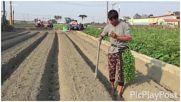 Как се сади пипер в Китай