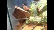 Хамелеон си яде закуската :)