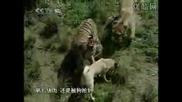 Tурски Кангал vs Тигър
