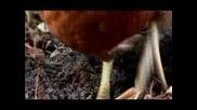 Кокошки елиминират вредители | в помощ на градинарите | преносим наторяващ курник