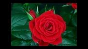 Как разцъфтява розата ...