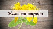 Жълт кантарион - лек за тялото и ума!