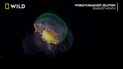 Най-смъртоносните медузи в света | NG Wild Bulgaria