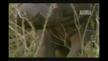 Хипопотам vs. Лъвове
