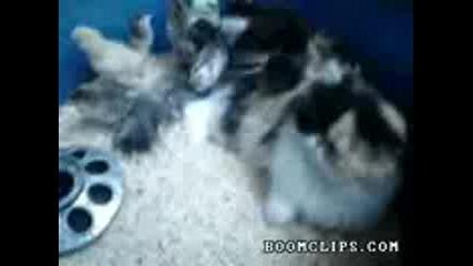 Котка осиновява пиленца