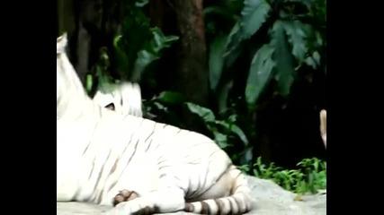 Красотата на Белия тигър