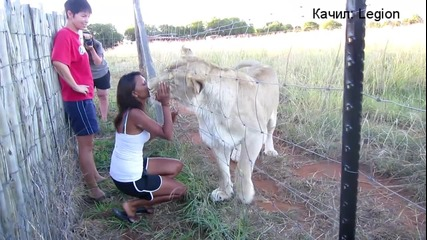 Приятелство между хора и лъвове