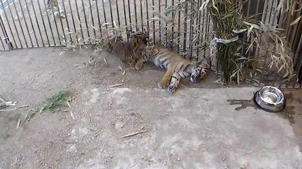 Тигърче от зоопарка иска да си играе !