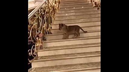 Руска депутатска съпруга дава лъвче под наем