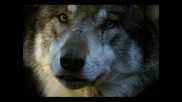 I Am a Wolf - поема от Sloane Jensen (thewolfpoet)