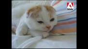 Най - Сладкото Котенце На Света - Scottish Fold