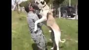 Ето Това Е Куче Пазач! Огромен Кангал