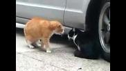 Смешна караница между котки !
