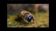 - Оплождане на пчелна майка