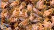 'Beepocalypse Not': Alec Lobbyists Abuzz in Defense of Pesticides Amid Die-Offs