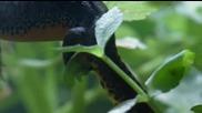 Размножаването на алпийския тритон..