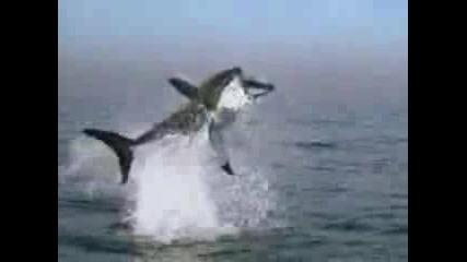 Огромна Акула