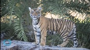 Why India's Tiger Census is Misleading