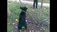 Rottweilera Ares ot s. Mramoren