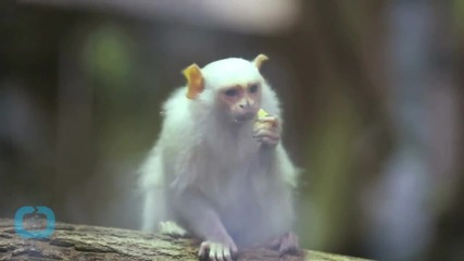 Endangered Monkeys Stolen From Zoo