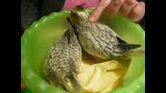 Малки Папагалчета