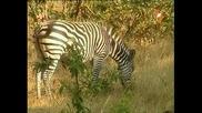 Енциклопедия на животните - Зебра