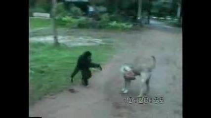 maimuna se zakacha s kuche
