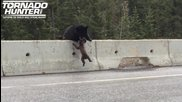 Мама мечка спасява мечето си