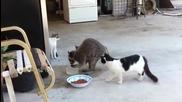 Миеща мечка краде храна от котките!