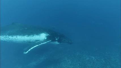 Подводeн круиз - улавяне на песента на гърбатите китове