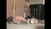 Котка Осиновява Катерици