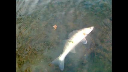 бяла рибка на свобода