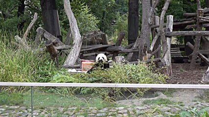 Panda Jiao Qing celebrates 10th birthday with 'cake' at Berlin Zoo