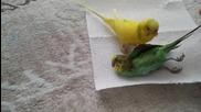 Това папагалче ще разбие сърцето ви! Вижте как се сбогува за последен път със своята женска