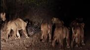 Lions vs Porcupine