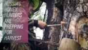 Inside the lives of Siberian honey hunters