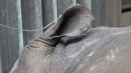 Учени създадоха ембриони в опит да спасят от изчезване бял носорог