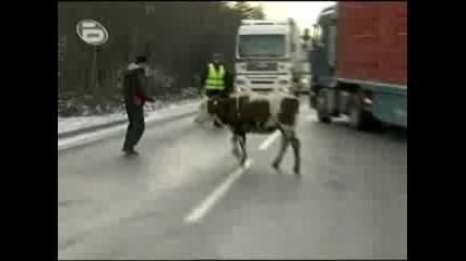 Полицаи товарят крави в ТИР .. Млекари на протест тръгнали към София с добичетата, ако не беше трагично щеше да е смешно!
