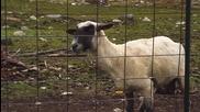 Тази овца се изцепи яко :))