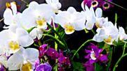 Petite Fleur - whistler - Roger Whittaker