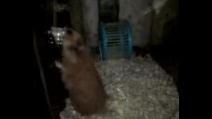 Moqt Hamster