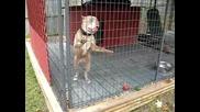pitbulls guarding their trritory