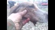 ловни кучета ударени от прае