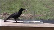 Умна врана знае как да стигне до храната