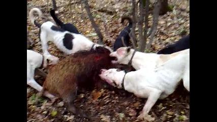 lov na divo prase 6