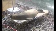 Морски лъв се радва на слънцето като лежи на шезлонг на плажа