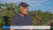 Производителите на грозде се оплакват от слаба реколта заради дъждовете
