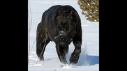 Top 2 Guard_assult Dogs In The World(cane corso and bandog)
