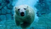 24 фактa за полярните мечки